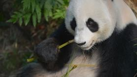 Pandy wielkie: wspomagane gody